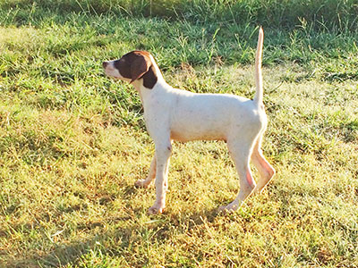 0phantom Kennels English Pointer Breeders With English Pointer